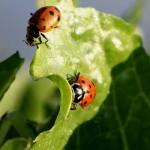 ladybird-beetle-1